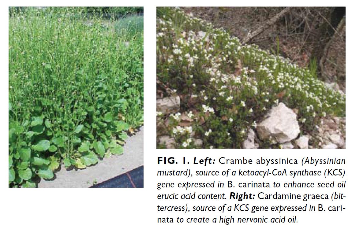 Brassica Carinata