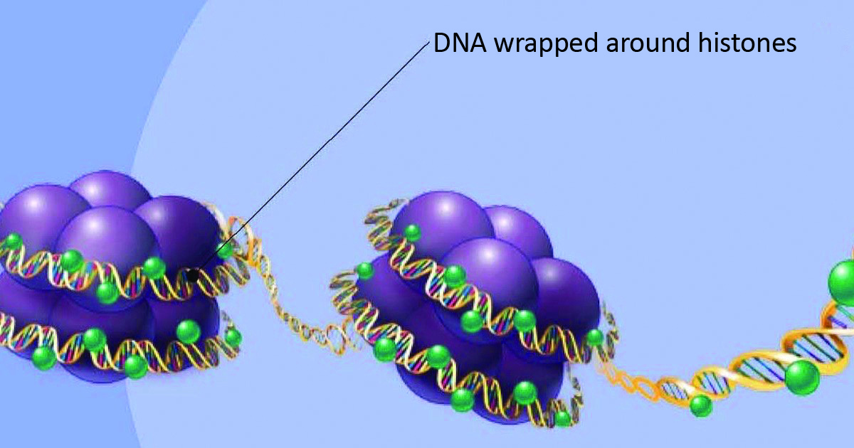 DNA wrapped around histones